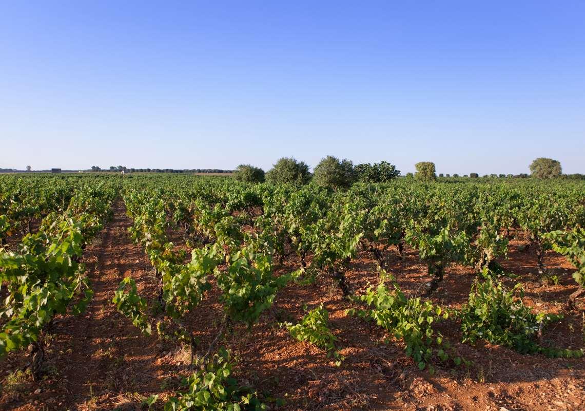 I principali vitigni salentini