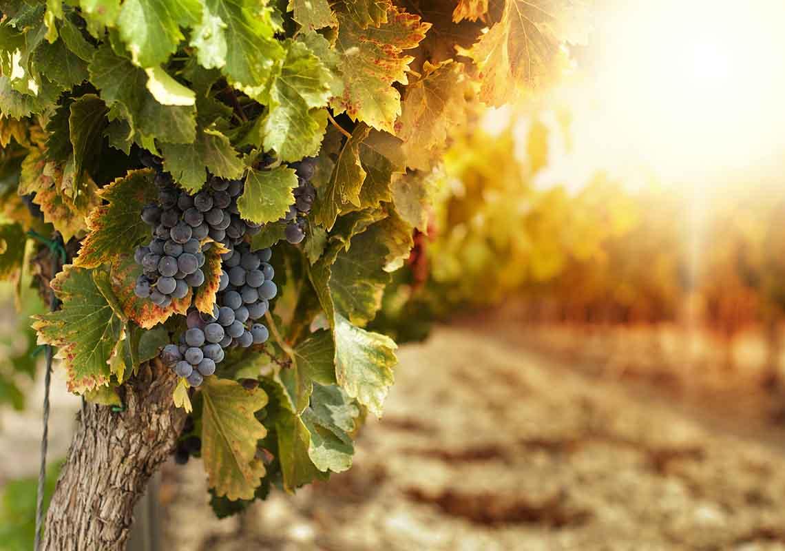 I sistemi di allevamento dei vitigni salentini