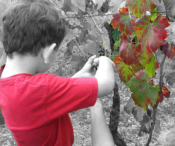 harvest-salento-winery-feudi-di-guagnano-salento-puglia